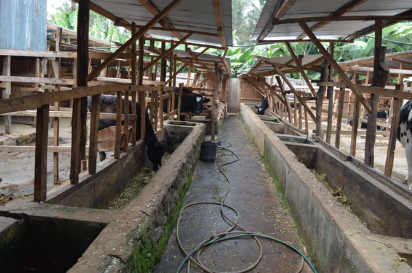 Dairy farmers upgrading cow houses to improve cow comfort.